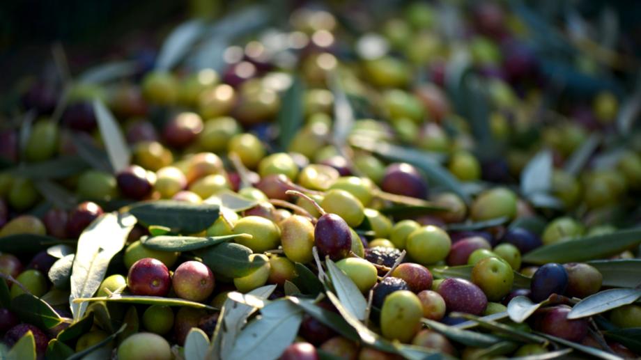 Olivenernte in der Toskana