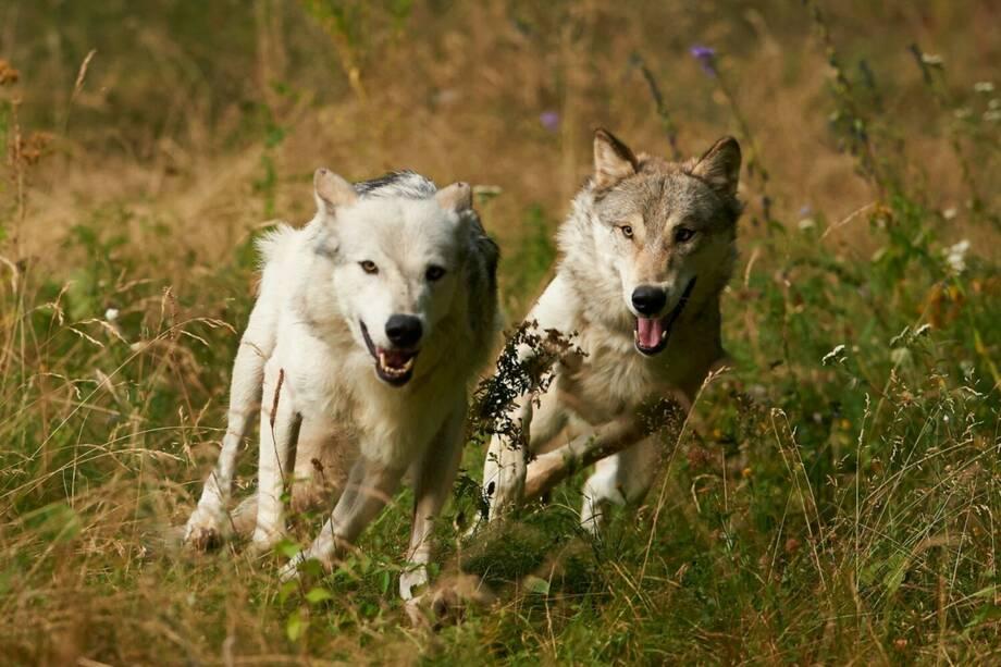 ErlebnisZug Leiser Berge - Wildpark & Wölfe